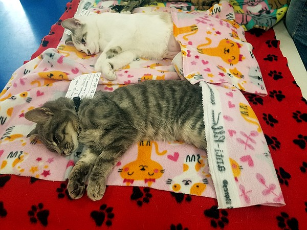 Cats sleep off their anesthesia after being spayed or neu...