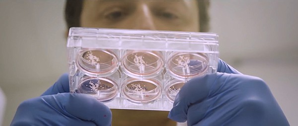 Professor Alysson Muotri creates brain organoids in his r...