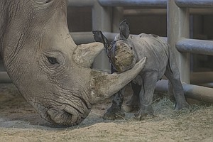 Southern White Rhino Calf Born At Zoo's Safari Park, Seco...
