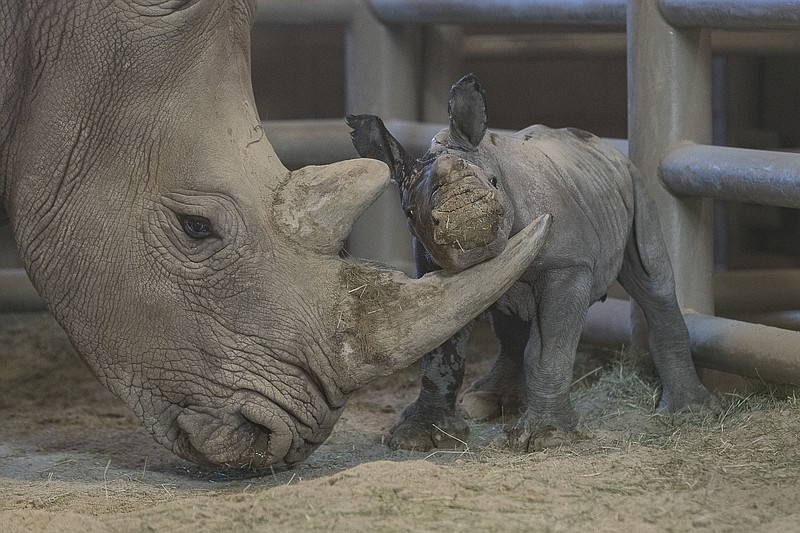 A female rhino calf plays with her mother, Amani, at the San Diego Zoo's Safa...