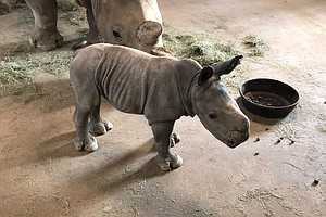 Photo for New Rhino Born In San Diego Key To Research Effort