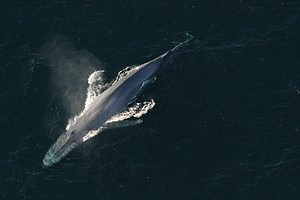 Why Blue Whales' Hearts Are Stopping Their Bodies From Ge...