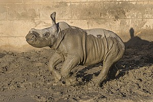 Photo for San Diego Zoo Names Southern White Rhino Baby Calf 'Future'