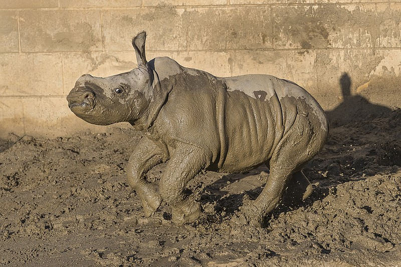 Future, a 19-day-old southern white rhino calf, runs around in the mud at the...