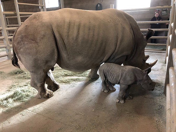 The 100th southern white rhino born at the San Diego Zoo ...
