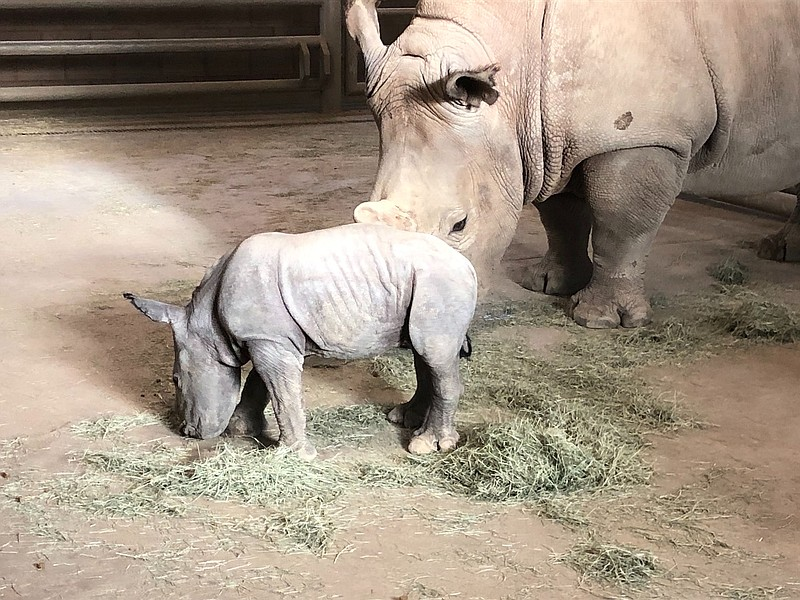 Future, at barely a week old, stands by mom Amani inside a barn at the San Di...
