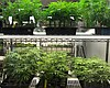 Small cannabis clones are seen in a display cas...