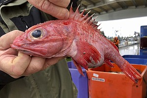 Photo for West Coast Fishery Rebounds In Rare Conservation 'Home Run'