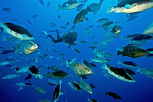 Scripps Scientists Work To Save A Fish Species From Extin...