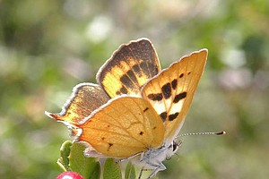 Photo for San Diego's Native Hermes Copper Butterfly Proposed For Endangered Species List