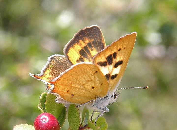 A Hermes Copper butterfly, which is found primarily in San Diego County, Cali...