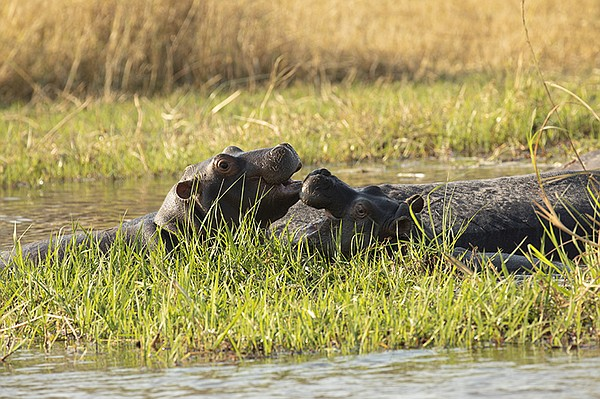 Two young hippo calves bond and play in the waters next t...