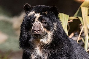 Photo for San Diego Zoo Announces Birth Of Andean Bear Cub