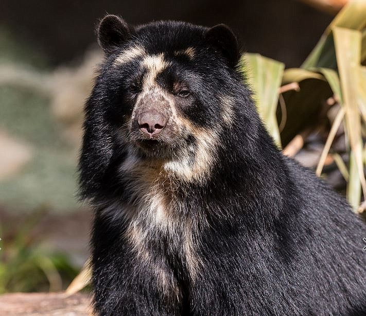Alba, the San Diego Zoo's Andean bear who gave birth to a club on Jan. 8, 2...