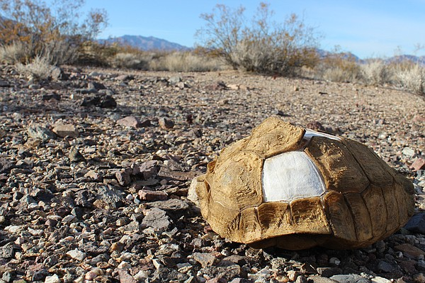 A tortoise shell rests in the Mojave desert on the Nevada...
