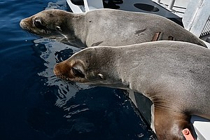 Photo for SeaWorld Returns Four Sea Lions To Ocean After Weeks Of Rehabilitation