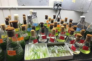 Photo for UC San Diego Study Shows Algae Could Alleviate Human Gut Problems