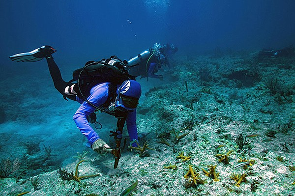 Coral fragments are grown in a pioneering nursery and the...
