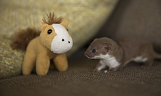 Orphaned weasel Twiz at five weeks old. Without...