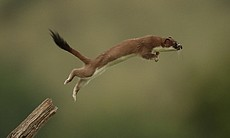 Stoats are easily distinguishable from weasels ...