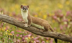 Stoats are one of the most elusive animals on t...