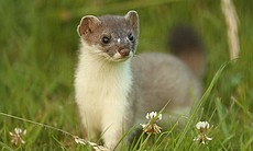 A young male stoat kit named Snap in wildlife a...