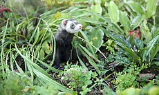 In the wild, ferrets spend up to 90 percent of ...