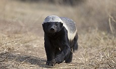 One of the honey badgers called Stompie who res...