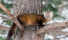 Pine Martens are an arboreal member of the must...