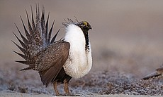 Greater sage grouse perform a mating display on...