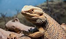 Bearded dragon uses head bobs to see off the co...