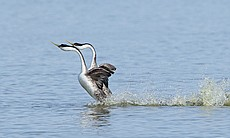 Pair of western Grebes perform their courtship ...