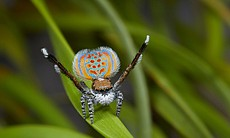 A male peacock spider puts on a colorful courts...