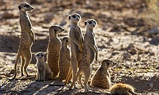 Meerkat family on the look out for possible dan...