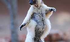 Verreaux's sifaka uses balletic moves to cross ...
