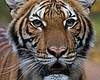 Tiger At NYC's Bronx Zoo Tests Positive For Cor...