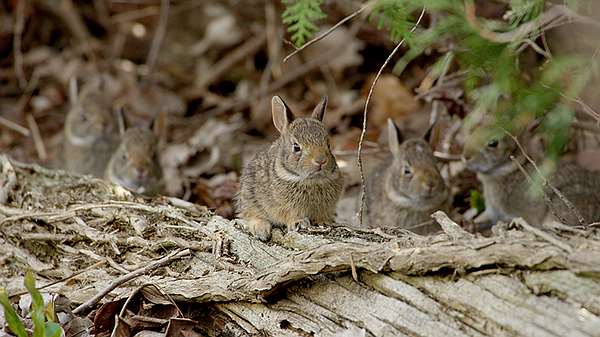 Two-week-old baby Cottontail rabbits. Port Rowan, Ontario...