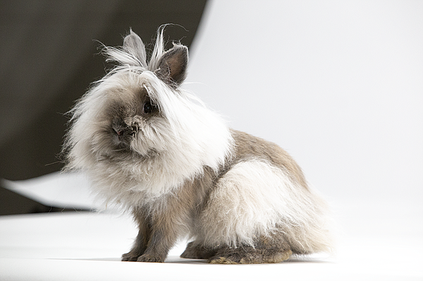 Lionhead rabbit, a domestic breed, at the 2018 American R...