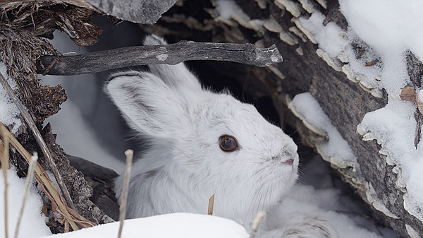 Snowshoe hare hides in a brush from its predator, Canada ...