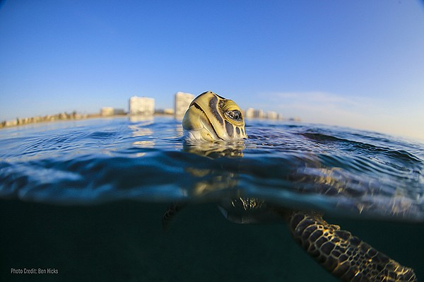 Shown: Sea turtle. The documentary features interviews wi...