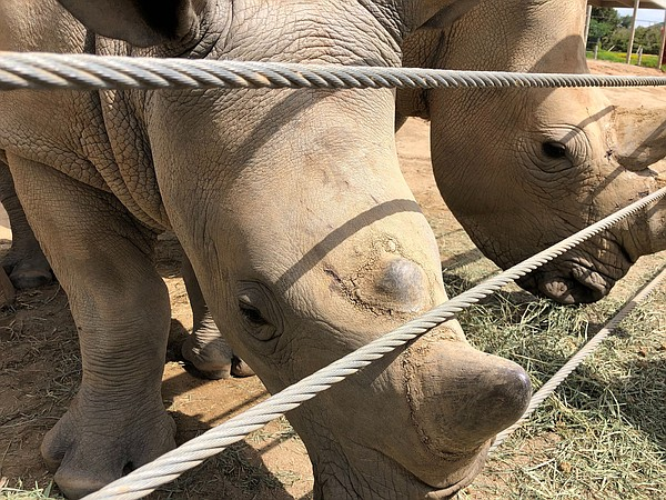 Edward (foreground) and mom Victoria at the Rhino Rescue ...