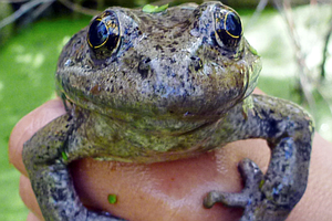 Photo for Biologists Bring Red-Legged Frog Back To San Diego, Days Before Virus Could H...