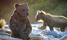 Spy Bear at river with grizzly bear in backgrou...