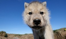 Arctic wolf cub looking to lens. Ellesmere Isla...