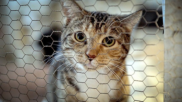 A cute little cat waits for adoption at the Katty Korner ...