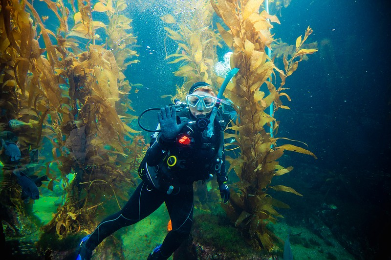 An aquarist who has dived into an underwater kelp forest at The Birch Aquariu...