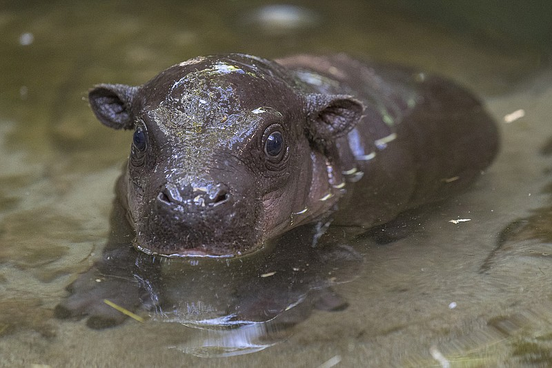 The male pygmy hippo calf was born at the San Diego Zoo to Mabel, a 4-year-ol...