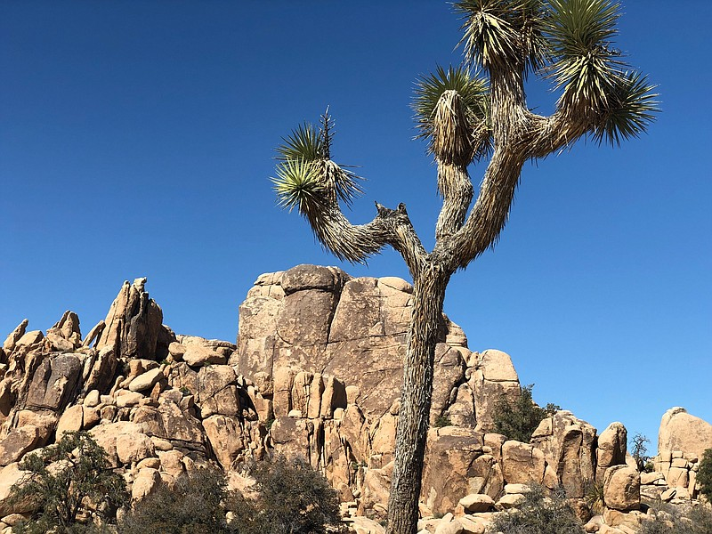 A cactus is pictured in Joshua Tree National Park in this undated photo.