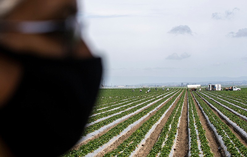 An essential worker wearing a face mask stands in a field of strawberries. In...