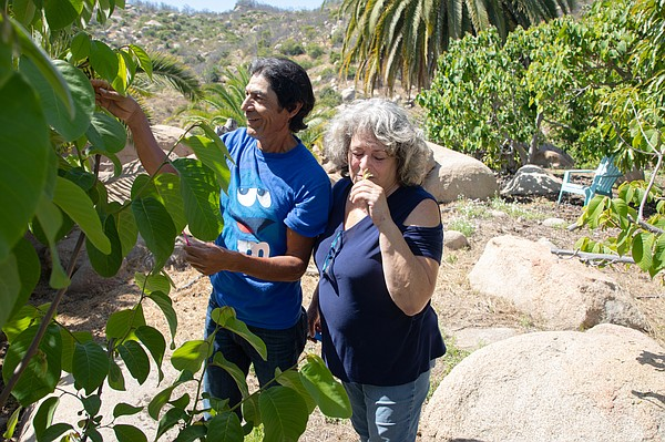 Cindy Luster smells a flower from a cherimoya tree on her...